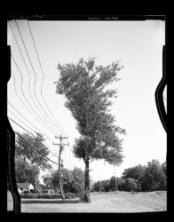 Artificially straightened tree next to crooked power lines in Saratoga, NY