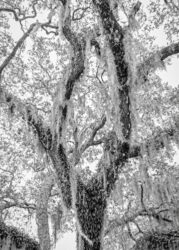 Trent Bozeman, Untitled (Spanish Moss), from Gullah In Root, 2020